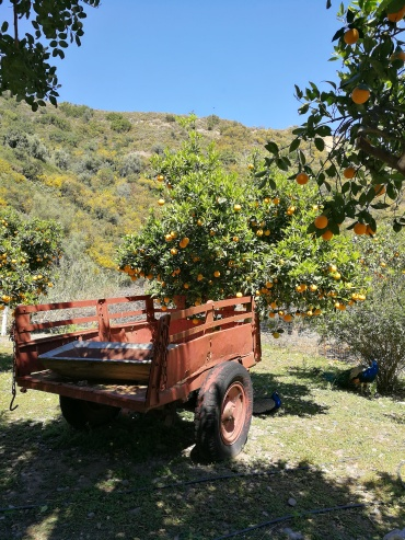 Orangenhaine auf Kreta